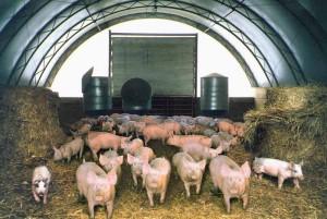 Содержание свиней на глубокой подстилке