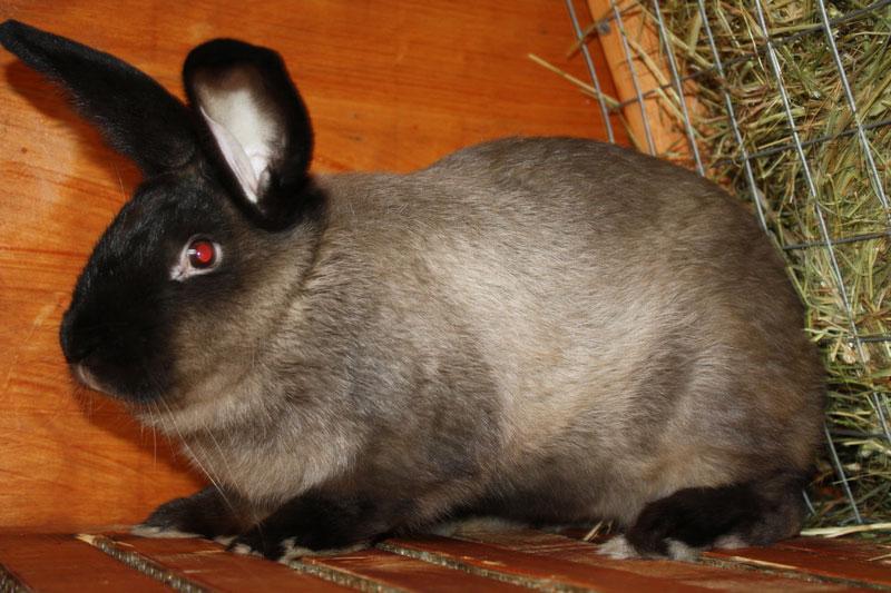 Кролики породы Большой Мардер фото