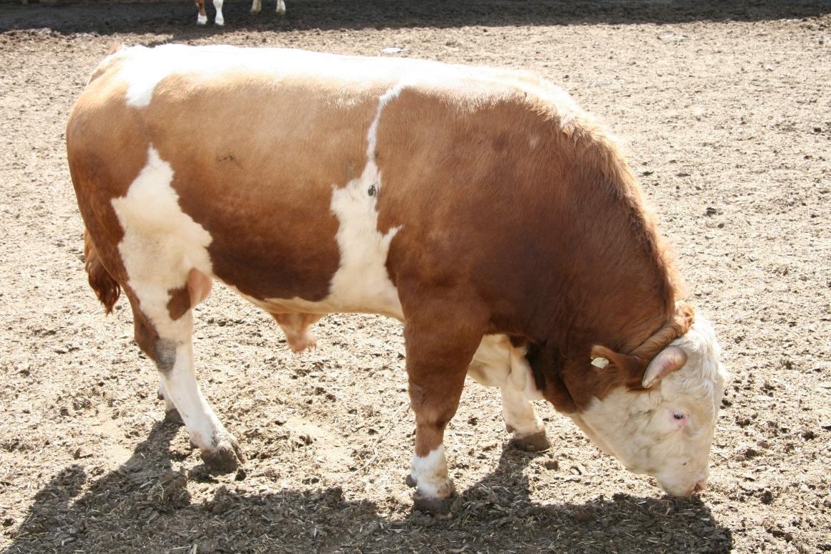 Откорм бычков