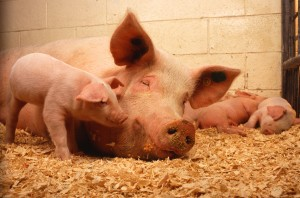 Домашнее свиноводство как бизнес