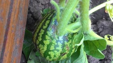 Высадка арбузов в открытый грунт