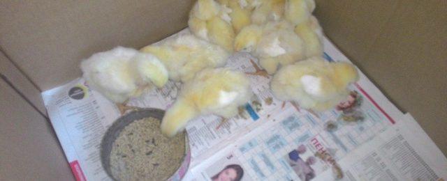 Почему цыплята бройлеры плохо растут