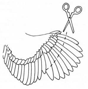 Подрезка крыльев курам