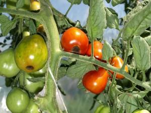 Вершинная гниль томатов фото