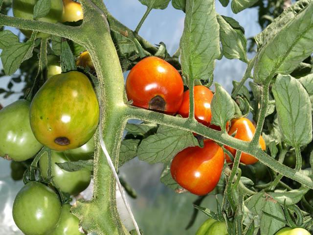 вершинная гниль томатов фото что нравится
