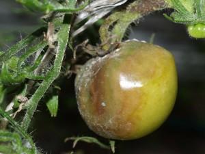 Серая гниль томатов фото