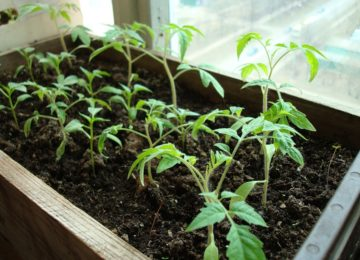 Почему рассада помидор не растет