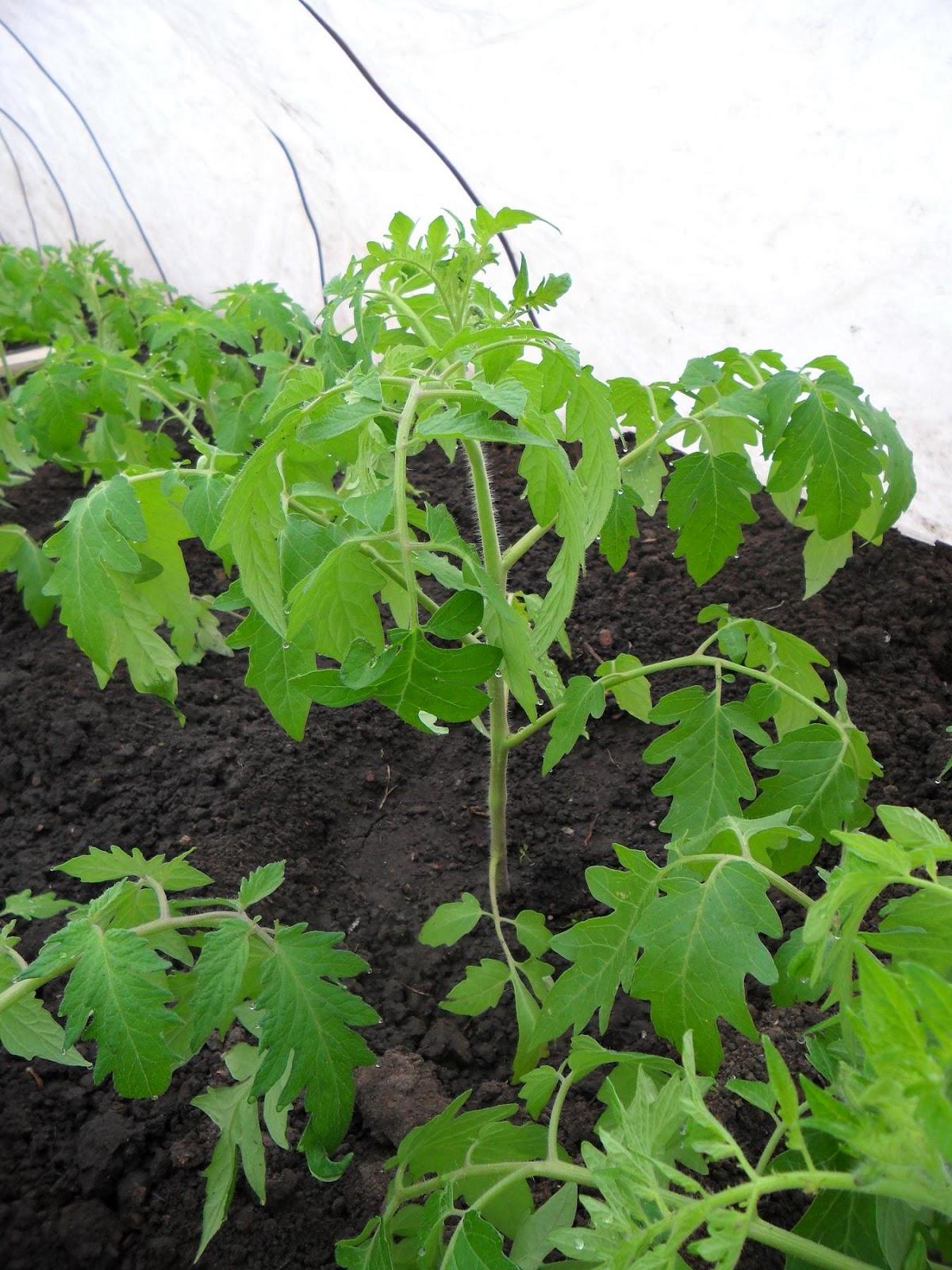 Грунт для томатов