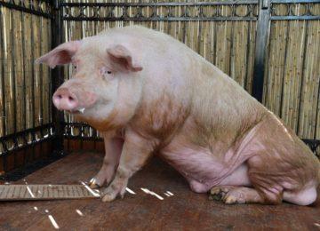 Почему хряк не проявляет интереса к свинкам?