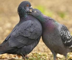 Сколько лет живут голуби?