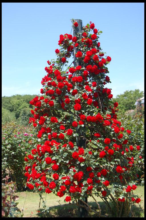 Фото: плетистые розы