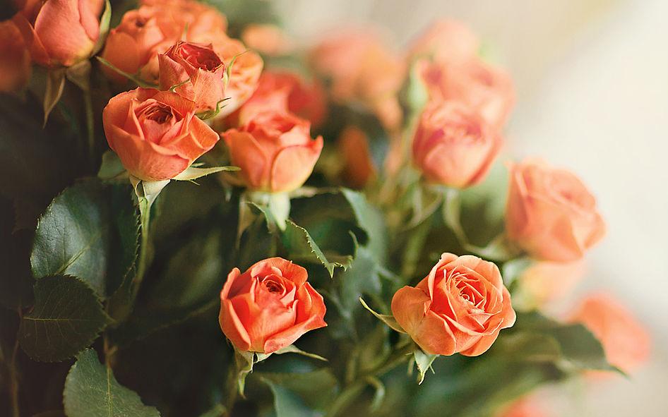 Фото: Кустовые розы