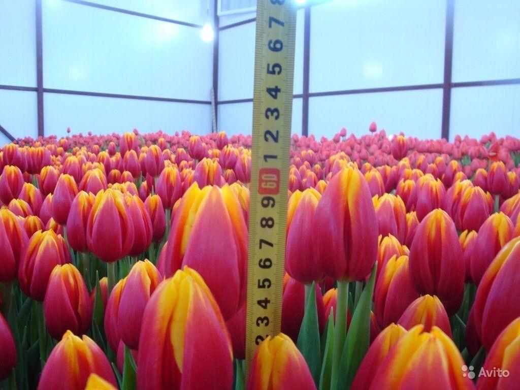 Фото: Высокие тюльпаны