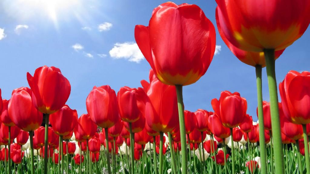 Красные красивые тюльпаны