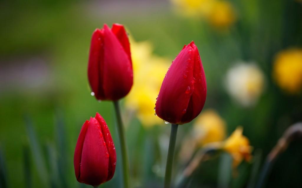 Фото: Красные тюльпаны