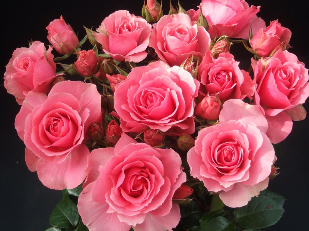 Большие и красивые розы