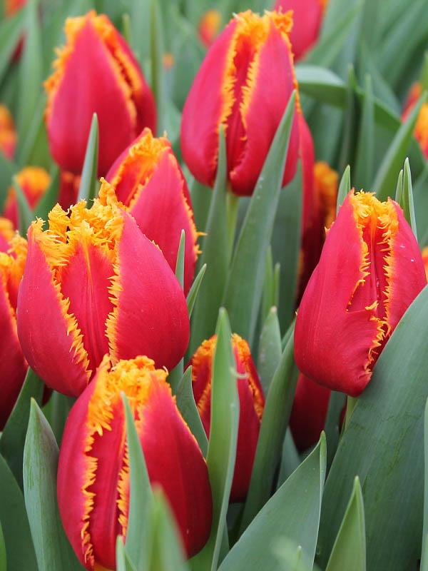 Тюльпаны Фабио