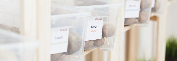 Как вырастить сверхранний картофель?