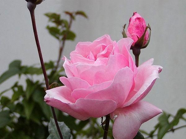Фото: Роза Queen Elizabeth