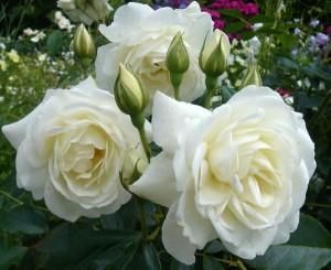 Розы Айсберг: фото с названием