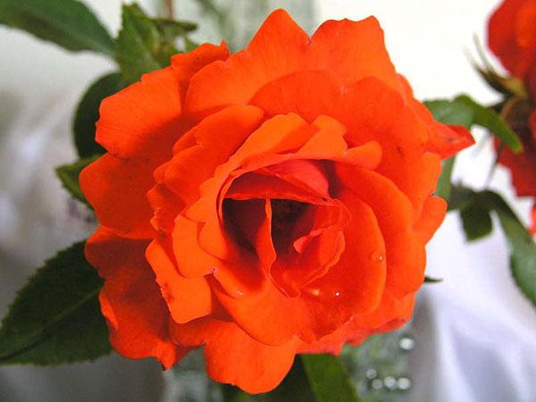 Роза с названием Кордеса фото