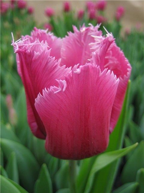 Тюльпаны сорта Лувр фото