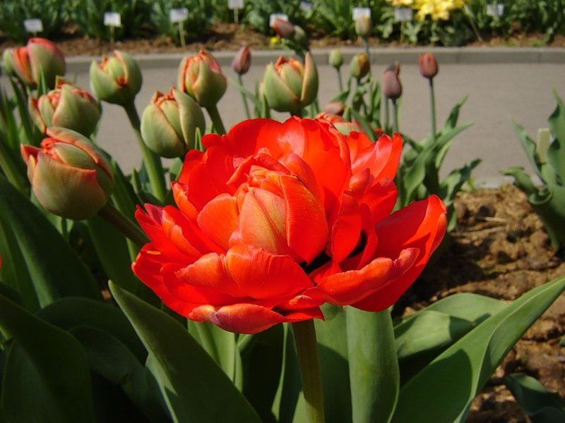 Фото: Тюльпаны Миранда