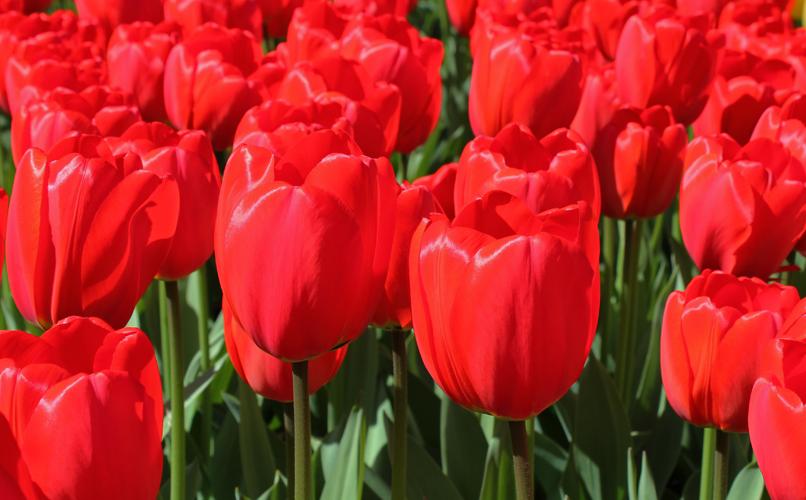 Красные тюльпаны - парад