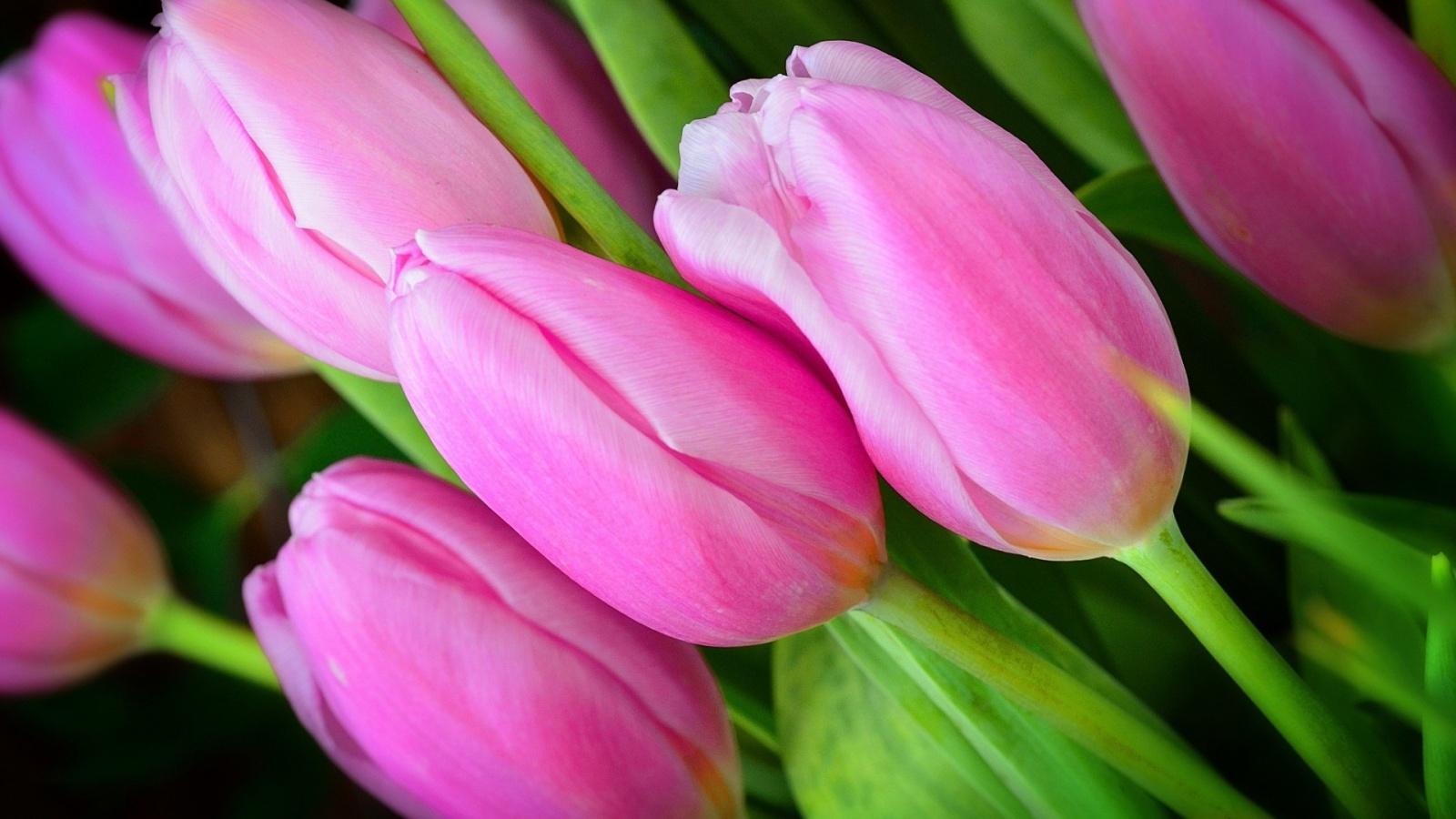 анализ фото на рабочий стол цветы тюльпаны писатель любил жизнь