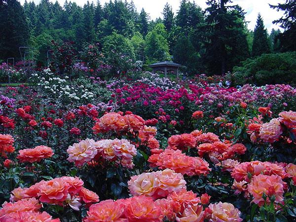 Фото: Портлендская роза