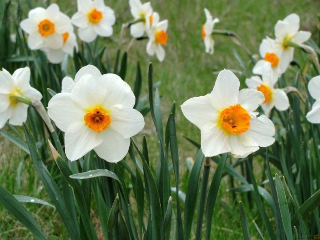 Нарциссы фото красивых цветов