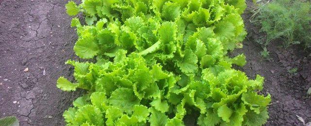 Когда сажать салат в теплицу и в отрытый грунт?