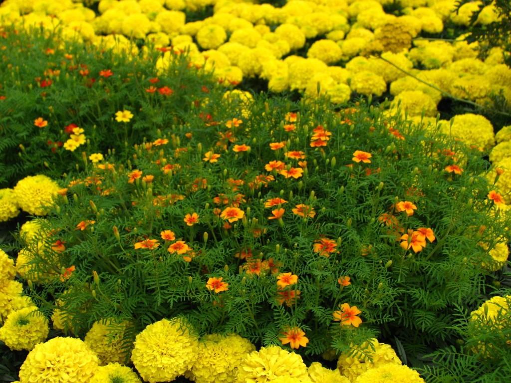 Бархатцы: цветы в клумбе