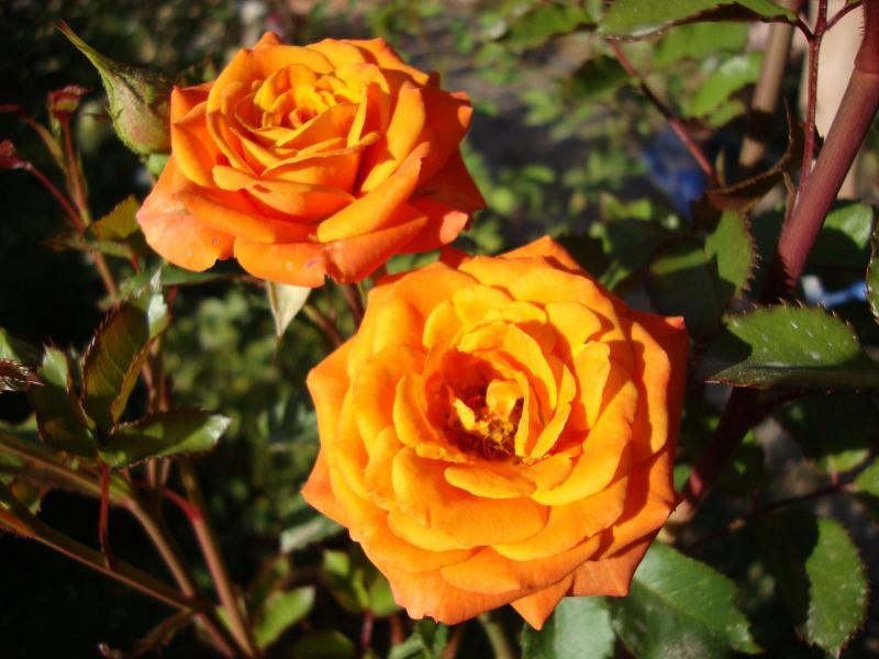 Когда сажать розы в открытый грунт?