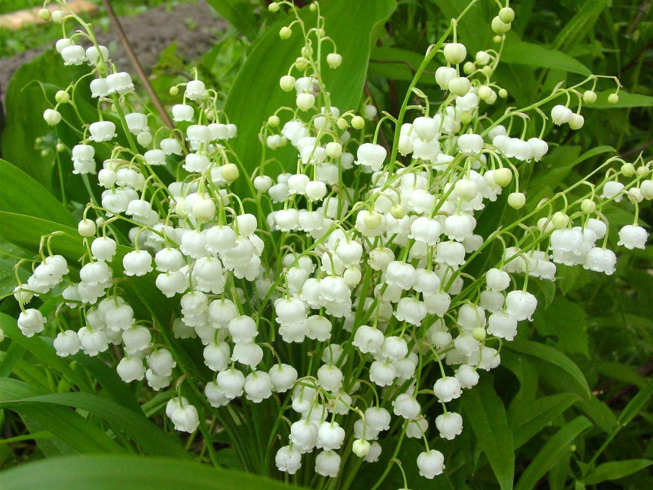 Ландыши: фото цветов
