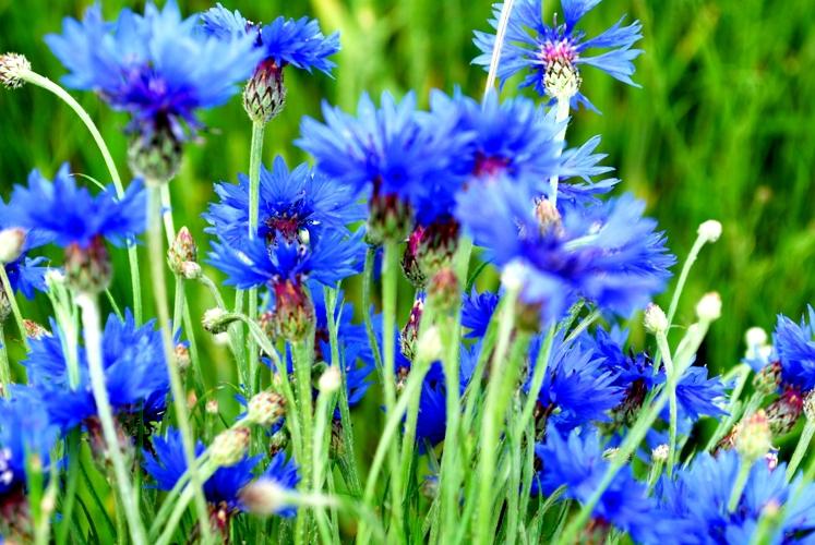 Полевые цветы фото