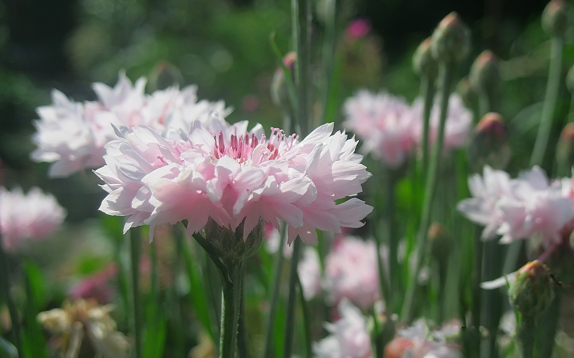 Васильки: фото цветов
