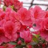 Азалия: фото цветов
