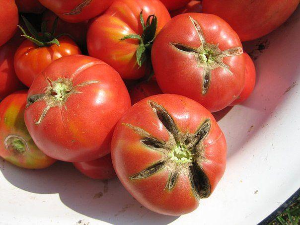 Почему трескаются помидоры в домашних условиях?