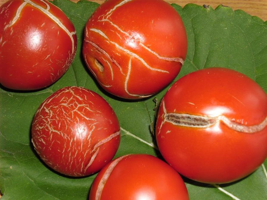 Что делать, если трескаются помидоры