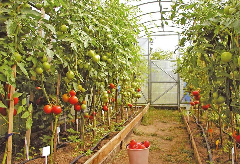 Почему чернеют томаты в теплице?