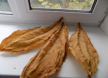 Фото: Сухие листья табака