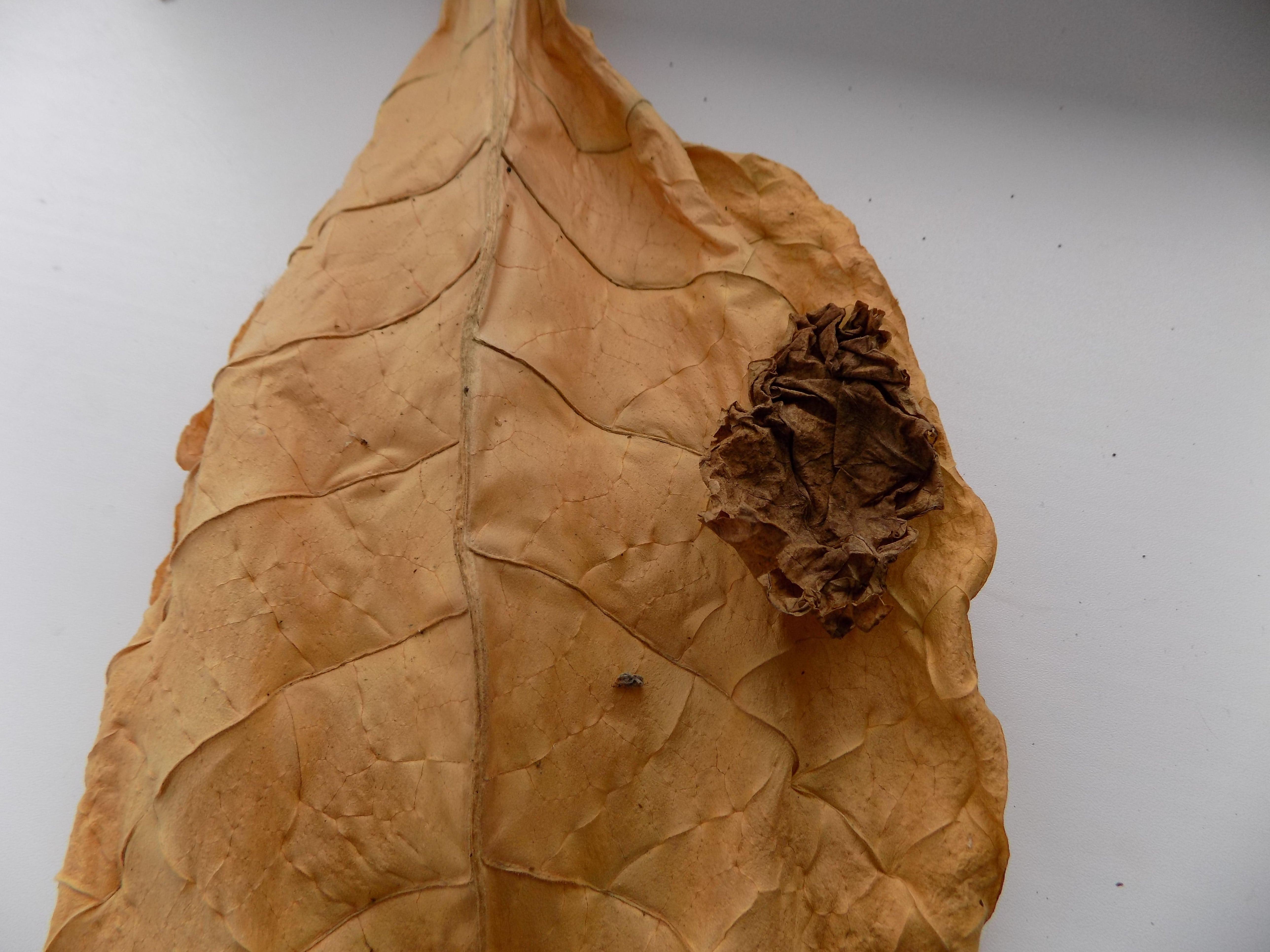 Фото: Табачные листы