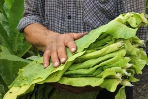 Правильный сбор урожая табака