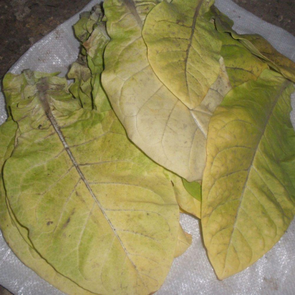Зрелые листья табака