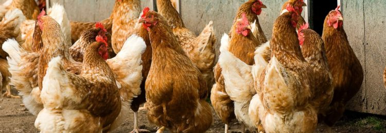 Почему куры едят пенопласт?