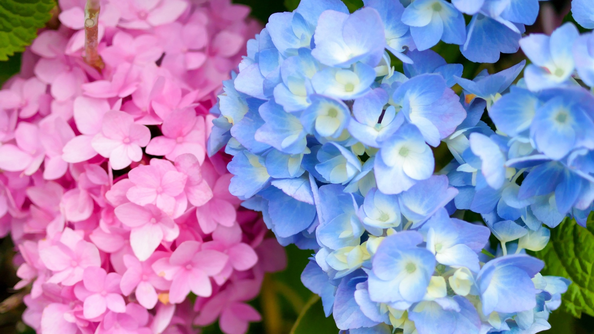 Фото: Гортензия в саду