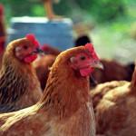 Почему куры клюют яйца?