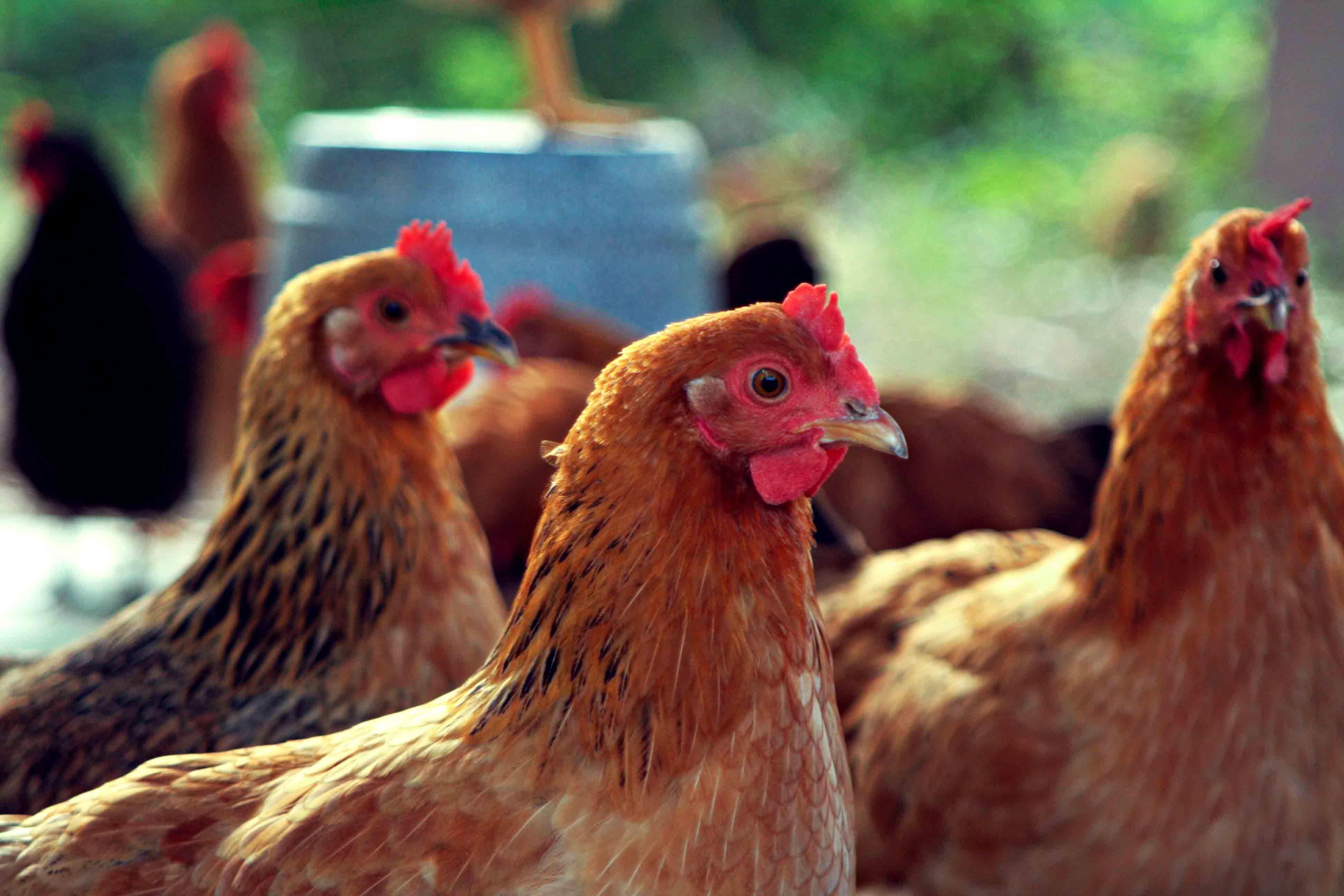Куры клюют яйца. Как решить проблему?