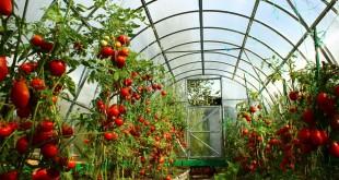 Формирование детерминантных сортов томатов.